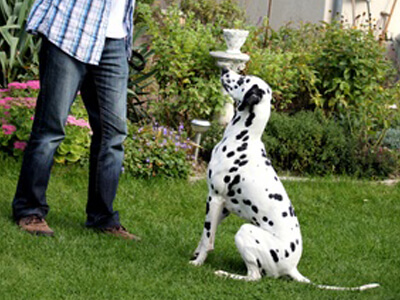 Ein Dalmatiner hört aufgrund der Hundeschule auf sein Herrchen.