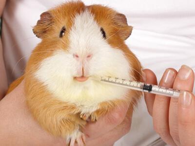 In einer Tierarztpraxis wird ein Meerschweinchen behandelt.