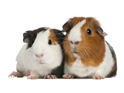 Zwei Meerschweinchen warten in einer Tierhandlung auf ihren neuen Besitzer.